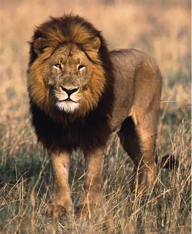 Lion on Wild Lions Currently Exist In Sub Saharan Africa And In Asia With An
